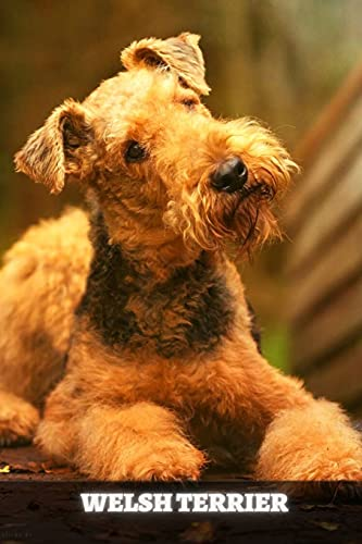 Welsh Terrier: Complete breed guide