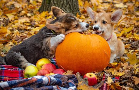 Herbsturlaub mit Hund in der Toskana - Welsh Corgi Pembroke